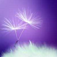 UV fleur coton shutterstock_550974967