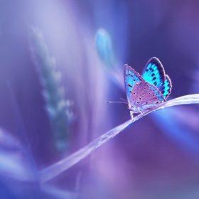 papillon shutterstock_563226868